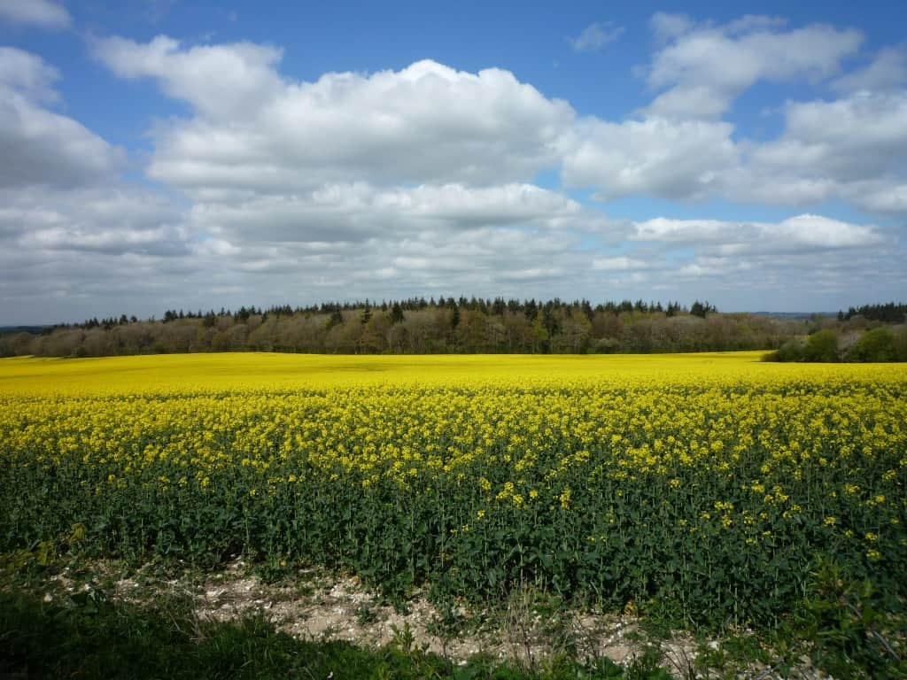 rape seed oil fields in flower